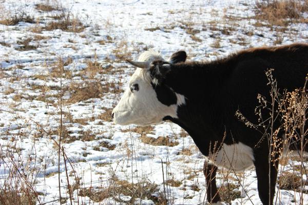 Алтайские коровы