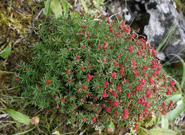 Лекарственные растения горного алтая