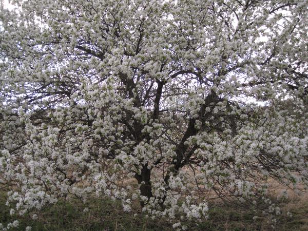 Цветущая яблоня Горный Алтай