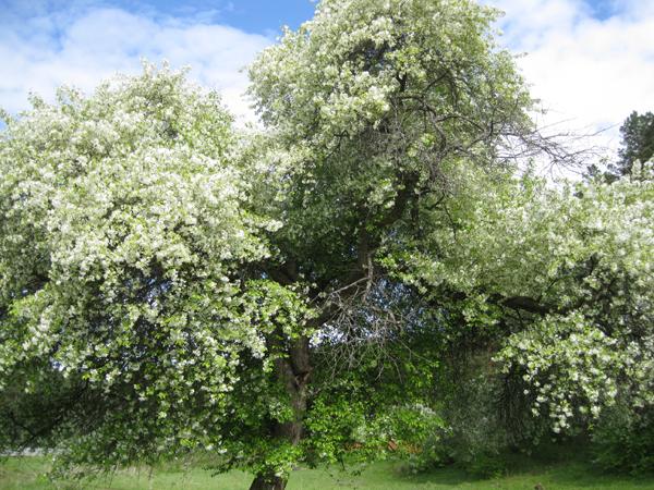 Яблоня Манжерок