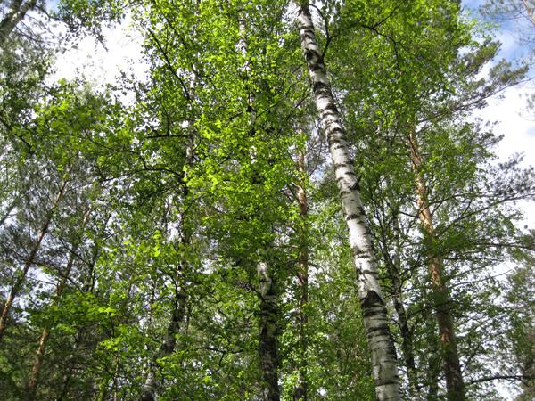 Береза – дерево перемен